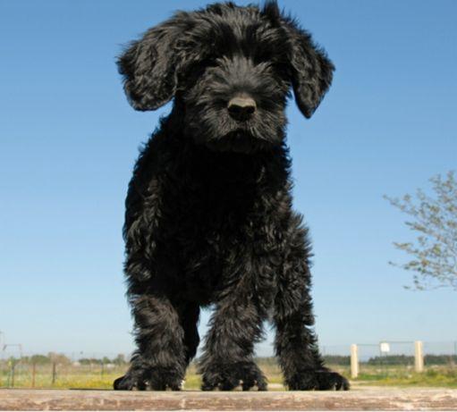 Cão de agua portugues (CAP)