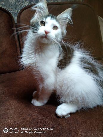 Ласковый котенок Мейн Кун