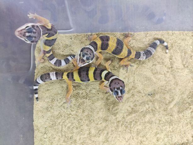 Продажа Пятнистых эублефаров (леопардовый геккон).  Возраст - 1 месяц.