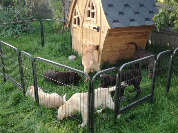 Labrador rodowodowe szczenięta