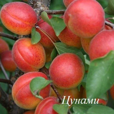 Продаем саженцы абрикоса