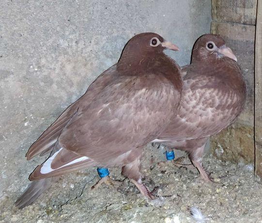 Pombos correios/borrachos