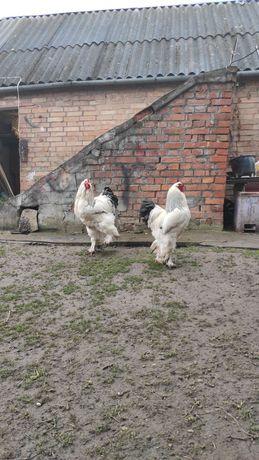 Брамма Светлая (яйцо,циплята,куры)