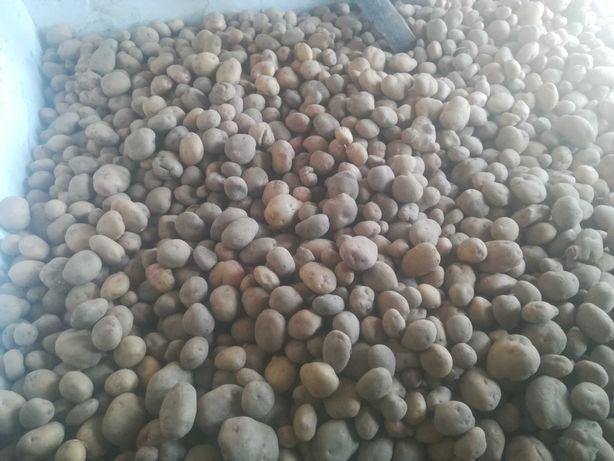 Vendo batatas, variedade picasso e manitou