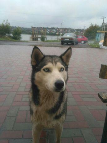 Нашлась собака  хаски