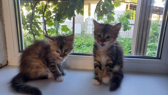 Персидские двойнята-девочки