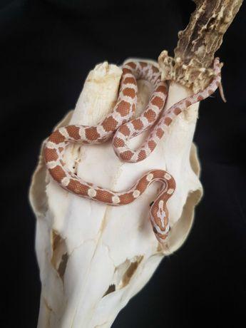 Wąż zbożowy Gold Dust samiec 9.