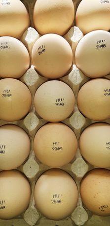 Бройлерное яйцо инкубационное