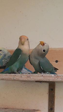 Papugi nierozlączki czerwonoczelne sprzedam
