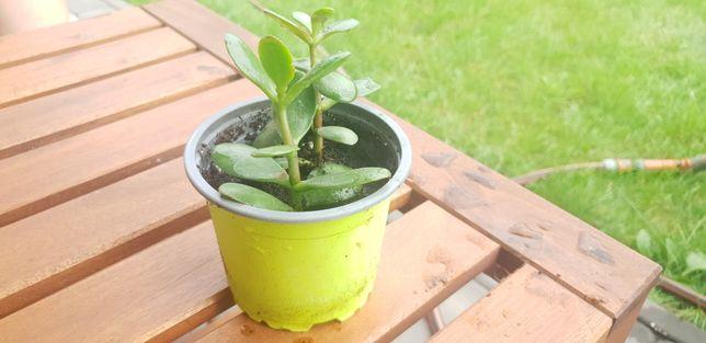 Grubosz, drzewko szczęścia ukorzenione sadzonki