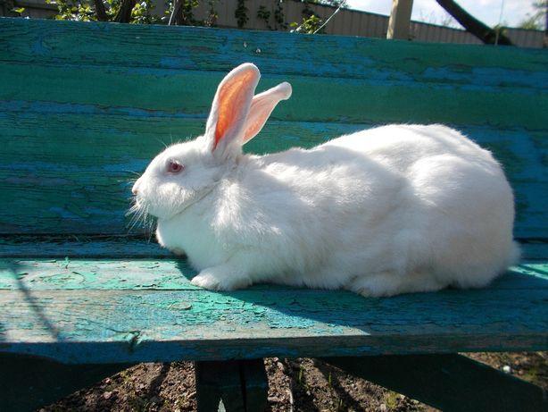 """Кролики на племя """" Термонский белый"""""""