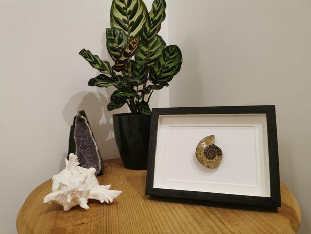 Quadro com Ammonite real