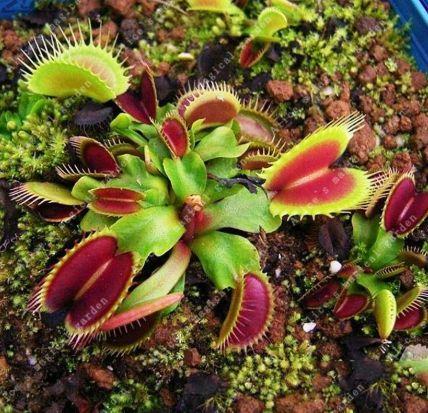Дионея венерина мухоловка, красивый цветок в горшочке