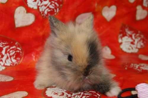 V12 gen teddy króliczek
