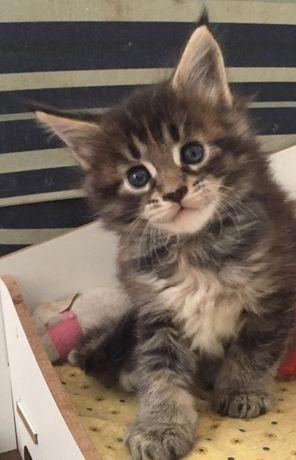 Mała kotka do domu niewychodzącego oddam kociczka długowłosa