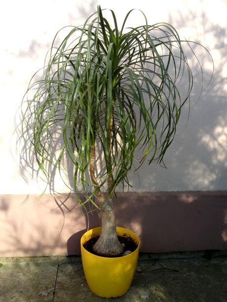 пальма ноліна