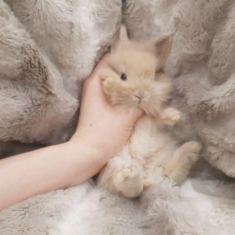 Карликовые супер мини кролики декорат.торчеухие и вислоухие крольчата