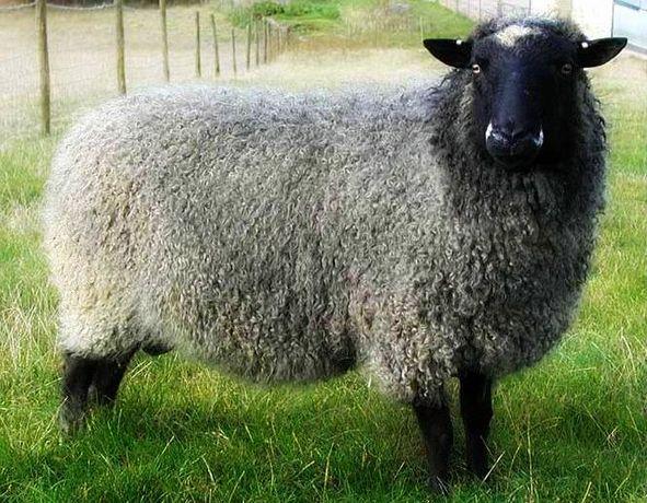Вівці романівські (баранчик) 1 рік