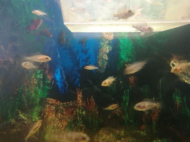 ryby, pyszczaki, Malawi, aulonocara