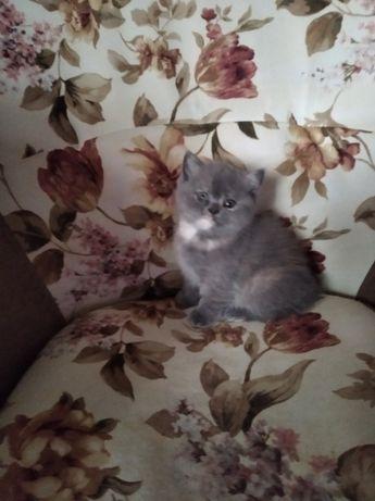 продам котенка британского короткошерстного
