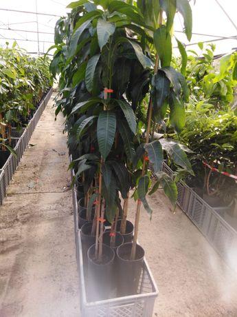 Planta de manga enxertada