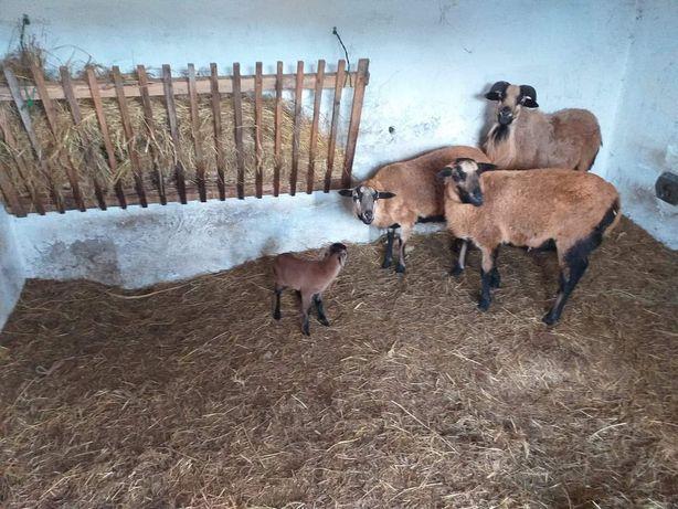 Owce kameruńskie stado