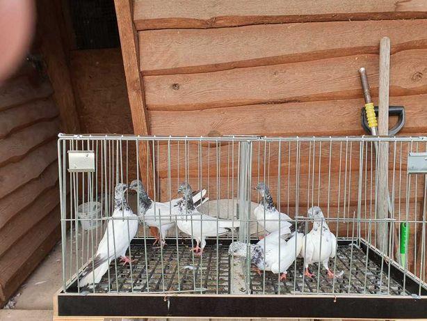 Gołębie Budapeszty na krótkich dziobach