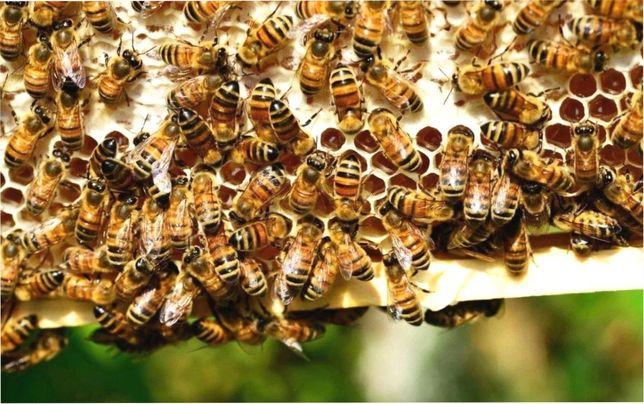 Карпатка Вучковская. Быстрая. Бджолині матки Карпатська порода