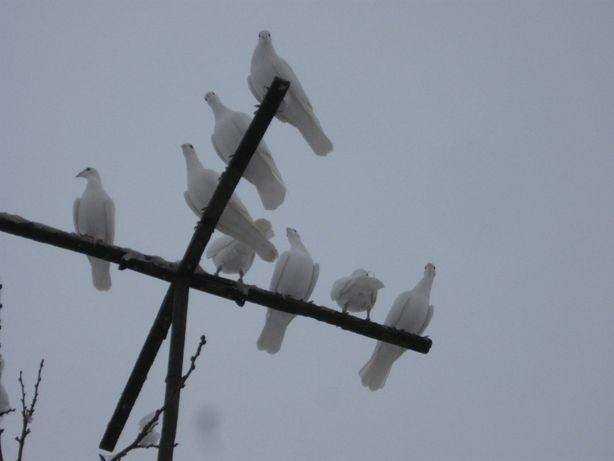 Білі почтові голуби