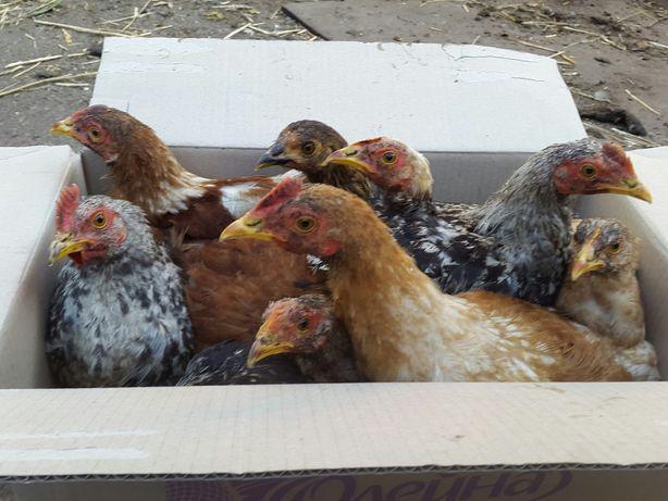 Цыплята курчата 4 мес домашние