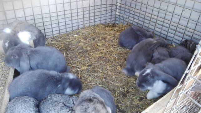 Baran Francuski Niebieski i Szynszylowy młode króliki