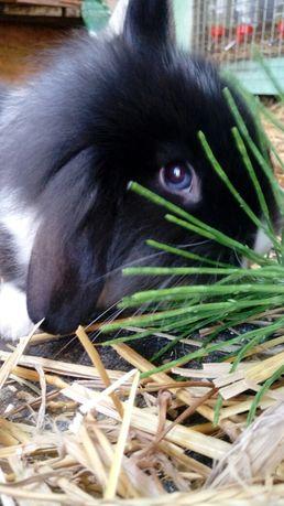 Wyjątkowy króliczek karzełek! Dwukolorowa tęczówka oka!