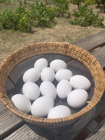 Vendo ovos de galinha White Leghorn pura