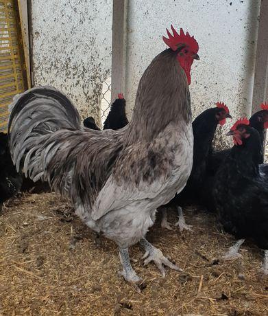 Jersey Giant jaja lęgowe