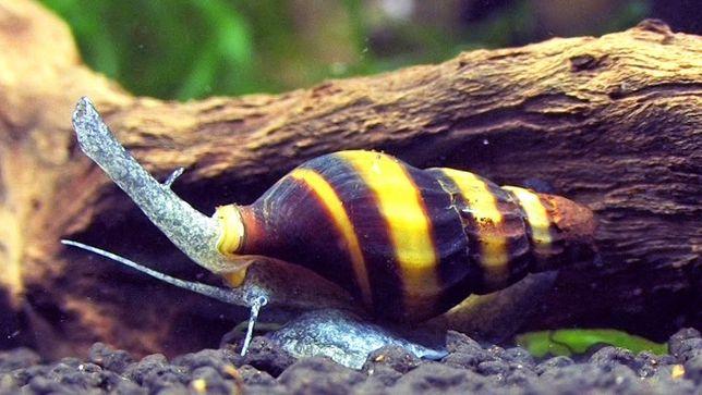 Ślimak Anentome Helena zwalcza inne ślimaki. CETARIUS