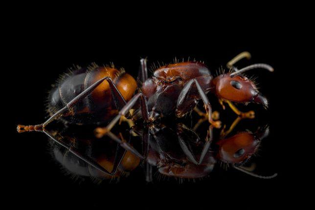 Camponotus nicobarensis Q (2020) Mrówki do Formikarium
