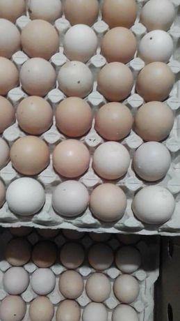 Инкубационное яйцо бройллер Росс 308