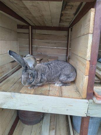 Sprzedam młode króliki samce i samice rasy olbrzym belgijski