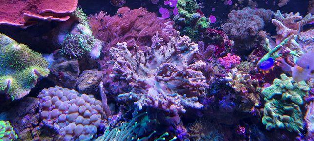 akwarium morskie Sinularia