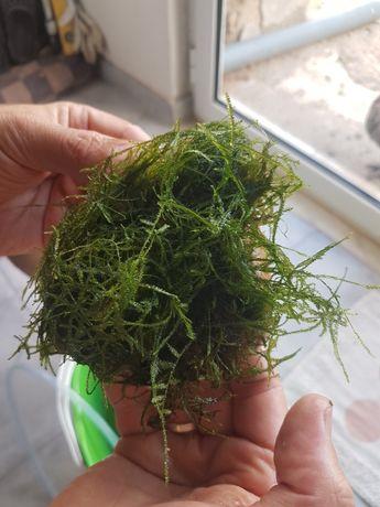 Musgo de java para aquário