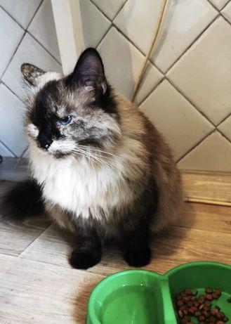Кошечка болинезийская ищет дом