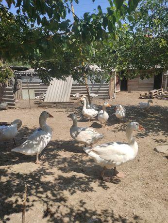 Продам гусей и кур