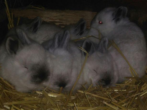 Продам племенных кроликов Калифорнийской породы.