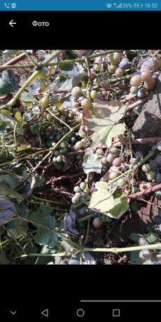 Продам виноград осенний морозостойкий, декоративное дерево, хмель
