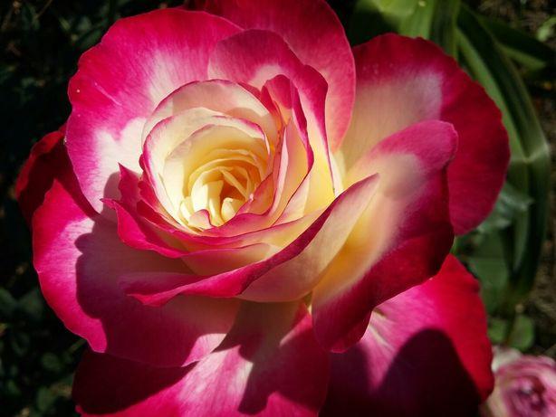 Чайно-гибридные кустовые розы
