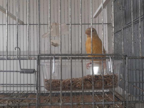 Cardinalitos duplo diluidos