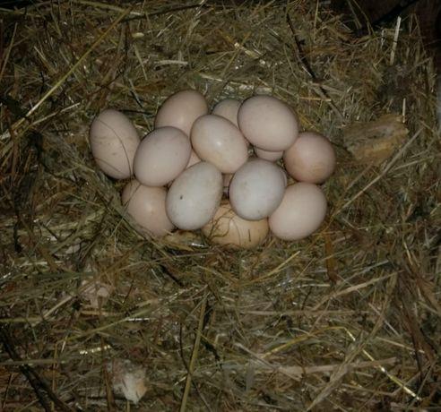 Swojskie jajka 10sztuk-10zł