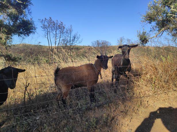 Cabra anão  fêmea de 2 anos