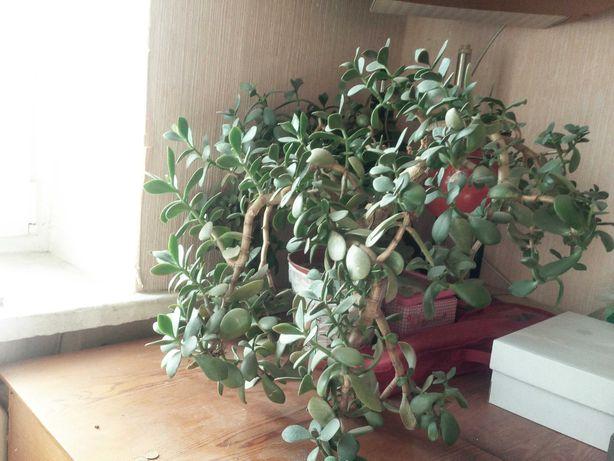 Комнатное растение-красула,восковик.