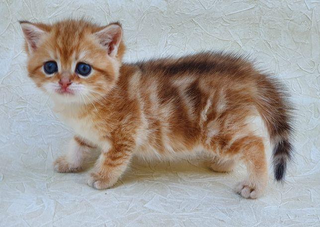 Котодевочка лялюшная красотка. Кошечка. Котята. Золотая шиншилла